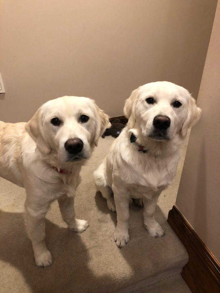 White Goldens RI- English Cream Golden Retriever Puppies